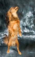 Russian Toy Terrier On Grey Ba...