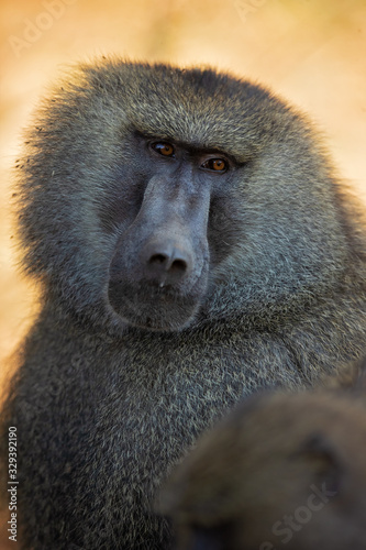 Photo Olive baboon (Papio anubis), also called the Anubis baboon, is a member of the family Cercopithecidae (Old World monkeys)