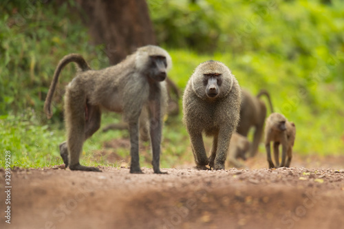 Olive baboon (Papio anubis), also called the Anubis baboon, is a member of the family Cercopithecidae (Old World monkeys) Tapéta, Fotótapéta
