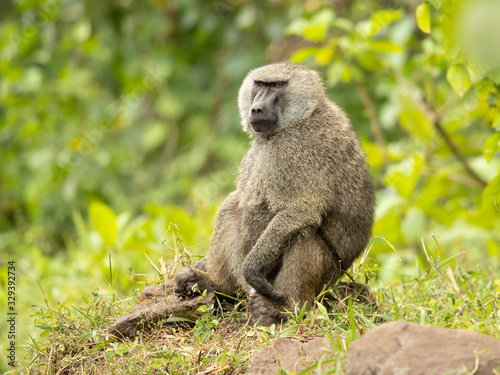Olive baboon (Papio anubis), also called the Anubis baboon, is a member of the family Cercopithecidae (Old World monkeys) Wallpaper Mural