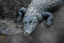 Big Marsh Crocodiles Closeup N...