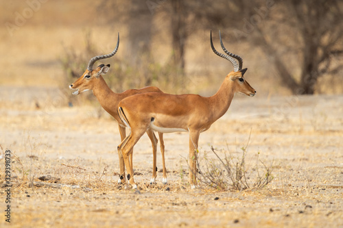 The kob (Kobus kob) is an antelope found across Central Africa and parts of West Africa and East Africa Wallpaper Mural