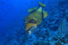 Aggressive Titan Triggerfish