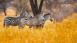 Fototapeta Zebra - The plains zebra (Equus quagga, formerly Equus burchellii), also known as the common zebra, is the most common and geographically widespread species of zebra.