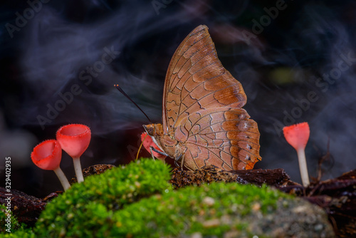 Photo Beautiful Tawny Rajah butterfly eat mineral with fungi cup blooming in the natur