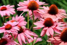 Purpur-Sonnenhut (Echinacea Pu...