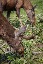 Two Adult Elks Eat Leaves For ...