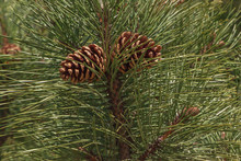 Close Up Of Two Pine Cones On Branch Of Pine Tree