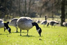 Canada Geese Of Buxton Pavilio...