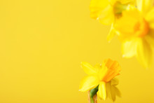 Yellow Daffodil On Yellow Background. Conceptual Background With Copy Space.