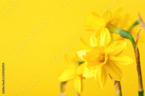 Photographie Yellow daffodil on yellow background