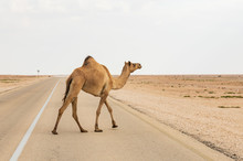 Funny Camel Crossing The Road ...