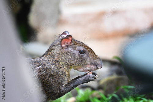 Close-up of Agouti's head eating coconut Canvas Print