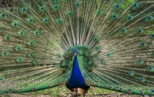 Peacock Spreads Tail