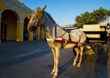 Horse Drawn Cart In A Tropical...