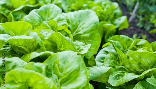 Fototapeta Lettuce in the garden -  iceberg, salad bowl, beet greens and many other healthy green leaves. obraz