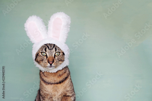 Photo European Shorthair young cat dressed as rabbit, close up.