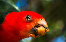 Macro Photo Of Australian King Parrot