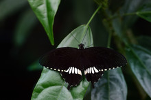 A Black Butterfly, A Papilo Polytes Or Common Mormon, Sits On Green Leaves With Spread Wings