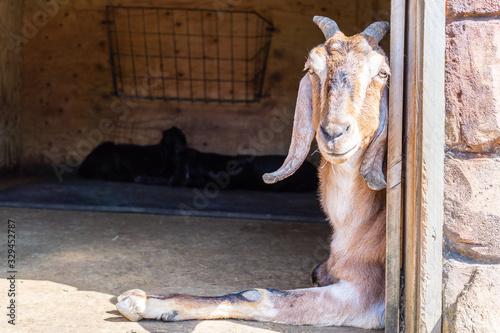Anglo Nubian Goat,Capra aegagrus hircus at Woburn Safari Park Canvas Print