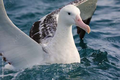 Southern royal albatross ready to take off, New Zealand Tablou Canvas