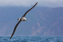 White-capped Albatross Flying Close To New Zealand Coast
