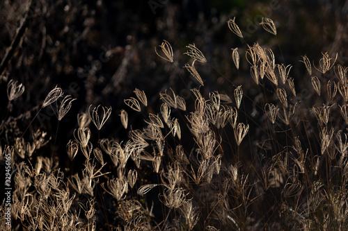 Backlit grasses at sunset. Wallpaper Mural