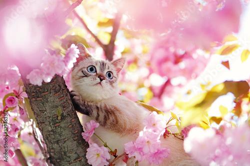 Tabby kitten climbing the sakura tree