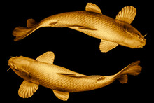 Koi Fish Golden Round The Circle Loop For Lucky Or Infinity Long Live Symbol Concept Isolated On Black Background.