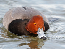 Male Redhead Duck Close Up