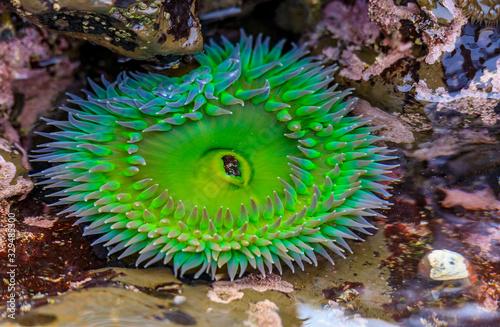Fotografija Giant green anemone in a tide pool at Fitzgerald Marine Reserve in Northern Cali