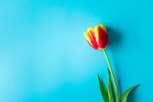 Single Red Yellow Tulip With C...