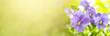 Viola tricolor or pansy