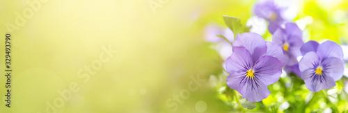 Viola tricolor or pansy Fototapet