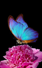 Panel Szklany Do Spa blue morpho butterfly on peony flower. closeup. pink peony and butterfly on a black background