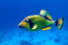 Titan Triggerfish (Balistoides...