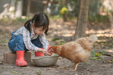 Little Asian Girl Feeding Hen Happily And Enjoy In The Chicken Farm. First Learning Of Little Children.