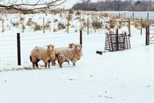 Sheep In A Snow Scene