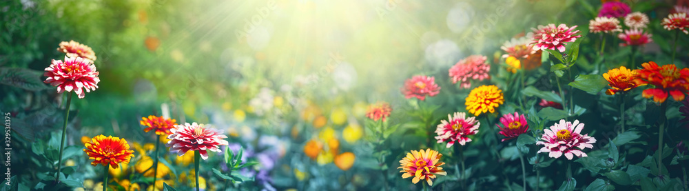 Fototapeta Colorful beautiful multicolored flowers Zínnia spring summer in Sunny garden in sunlight on nature outdoors. Ultra wide banner format.