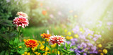 Colorful beautiful flowers Zínnia spring summer in Sunny garden in sunlight on nature outdoors.