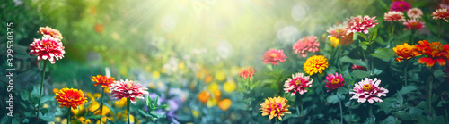 Colorful beautiful multicolored flowers Zínnia spring summer in Sunny garden in sunlight on nature outdoors Fototapete