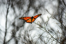 Monarch Butterfly Also Known A...