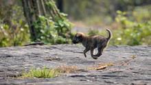 Small Puppy Running Over Rocks...