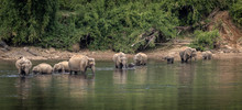 A Herd Of  Wild Asian Elephant...