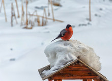 Bullfinch (lat. Pyrrhula Pyrrhula) Sits On The Roof Of A Bird Feeder. There Is A Large Snow Cap On The Roof Of The Feeder . Winter.