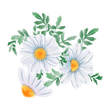 White Chamomile Flower Bunch Close Up, Isolated On White Background.