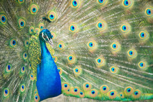 A Peacock Is Displaying Its Colorful Feathers; Close Up Of A Male Peacock Fanning Its Tail