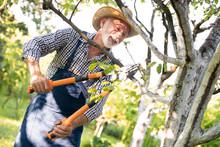 Senior Farmer Trimmed The Tree...