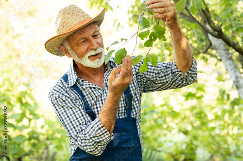 Cuadros en Lienzo Senior farmer checking health of fruit tree