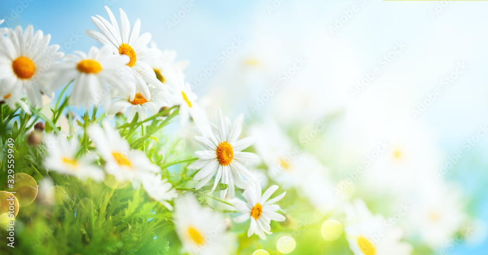Fototapeta Beautiful chamomile flowers in meadow. Spring or summer nature scene with blooming daisy in sun flares.